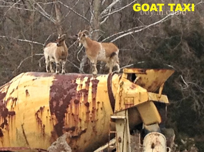 Goat Taxi